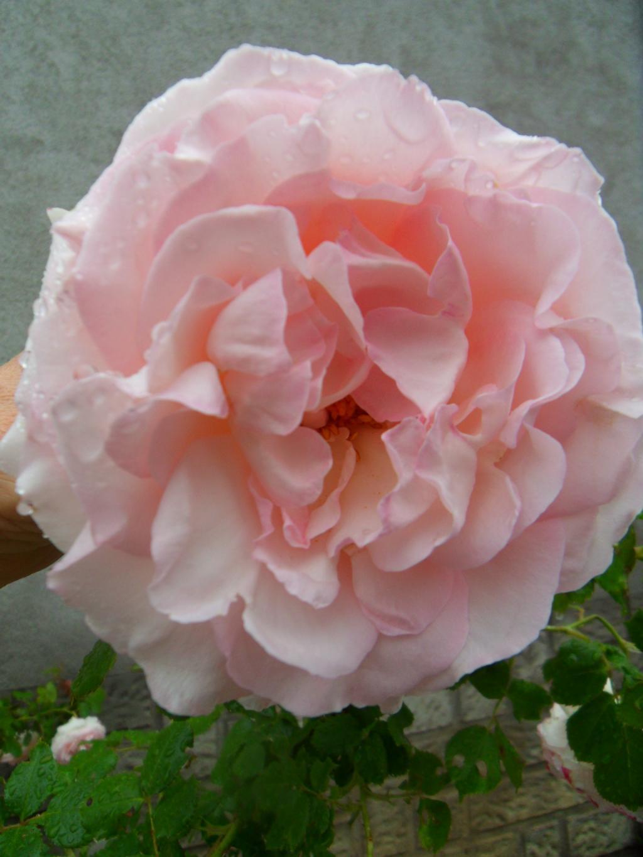 vos jardins  vos plantes - Page 25 Wk-sous-la-pluie-...2012-005-356548f